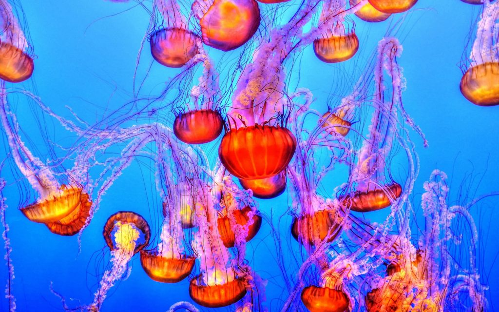 Jellyfish Wide Gamut Wallpaper.
