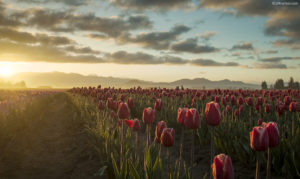 Tulip sunrise wide gamut picture.
